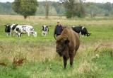 Беловежский зубр покинул пущу ради стада коров
