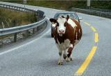 В Брестском районе сбитая корова придавила пастуха