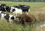 В брестской области пущанский зубр снова вернулся к коровам
