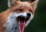 Сразу в нескольких районах Пинска был введен карантин из-за бешеной лисы