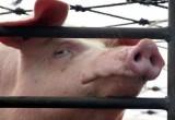 В Ганцевичском районе Брестской области обнаружена неизвестная свиная инфекция