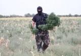 Более 251 тонны мака и марихуаны уничтожили сотрудники ОВД в Брестской области