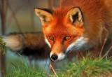 В Брестской области введен карантин из-за бешеной лисы