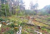 Частное предприятие из Бреста незаконно спилило 374 дерева