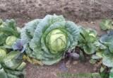Вот это в Беларуси урожай!