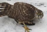 В Бресте поймали еще одну хищную птицу. На этот раз ястреба-тетеревятника