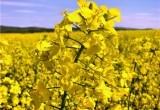 В Брестской области увеличат посевы рапса и уменьшат площади под кукурузу