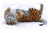 Видео дня: Упитанные амурские тигры сбили и съели беспилотник