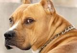 В Беларуси планируют ввести обязательное чипирование собак опасных пород