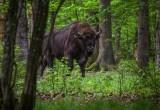 Ежегодно на охоте на зубра Беловежская пуща зарабатывает до 1,5 млн. евро