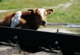 В Жабинковском районе электровоз наехал на стадо коров. Погибло около десяти бурёнок