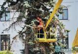 В Бресте на площади Ленина удаляют старые ели
