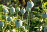 На Брестчине с начала июня уничтожено 78 мест произрастания наркосодержащих растений