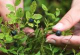 Ученые: большого урожая грибов и ягод в Беларуси ждать не стоит