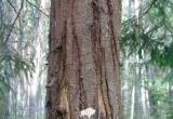 В лесах Брестчины обнаружили бурого медведя