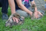 Брестчане спасли лебедей, измазанных в нефтепродуктах