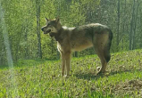 Волк убежал из Беларуси и завел семью в Польше