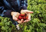 Второй урожай клубники собирают в Лунинецком районе