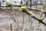 Середина декабря — на деревьях в Бресте набухают почки