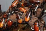 В Китае выращивают тараканов для уничтожения мусора