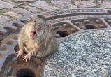 В Германии пожарные спасли располневшую крысу - она застряла в отверстии люка (видео)