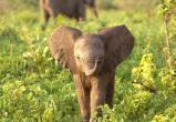 Туристы во время сафари обидели любопытного слоненка (видео)