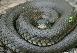 45 гремучих змей проживало под полом дома (видео)