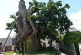 Где растет 800-летний дуб-часовня?