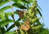 В Брест прилетела самая большая за последнее десятилетие стая бабочек-репейниц