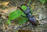 Следы жука-оленя ищут в Беловежской пуще
