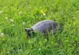 Редкие черепахи появились в водоемах Кобрина