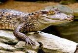 Крокодил сбежал из цирка в Новосибирске (видео)