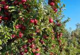 Комиссия Россельхознадзора приехала считать яблоки в Беларуси
