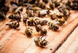 В России массово гибнут пчелы: ущерб составит более триллиона рублей
