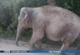 Слон гулял по деревне под Кобрином (видео)
