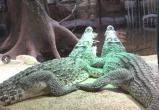 Крокодил, подаренный Фиделем Кастро советскому космонавту, откусил руку человеку