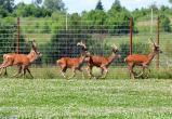 Вольеры для разведения оленей создадут в Брестском и Кобринском районах