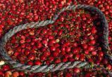Посмотрите, как собирают клюкву в самом крупном ягодном хозяйстве Европы