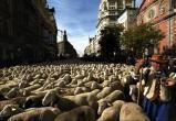 Видео: марш в Мадриде из 2000 овец и коз