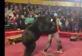 Видео: во время выступления медведь напал на дрессировщика
