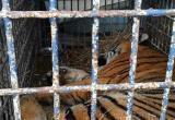 Застрявших на польско-белорусской границе тигров доставили в Познань