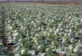 Приказ Лукашенко не выполнен: урожай на белорусских полях не убрали до 7 ноября