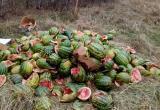 В Бресте гору арбузов выбросили у озера