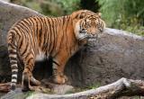 Задержанные на белорусско-польской границе тигры отправились в Испанию