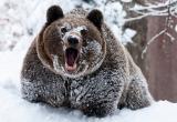 В России медведь забрался в дом и разорвал мужчину (видео)