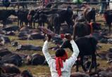 Самый кровавый фестиваль жертвоприношений в мире начался в Непале