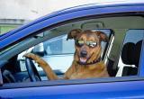 Пес утопил машину хозяина, пока тот был в магазине (видео)