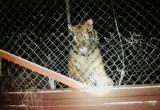 В Киеве в заброшенном клубе нашли шесть беспризорных тигров (видео)