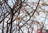 Весна пришла в январе: в Бресте зимой цветет сакура