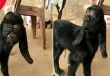 Козу с «человеческим» лицом нашли в Индии (видео)